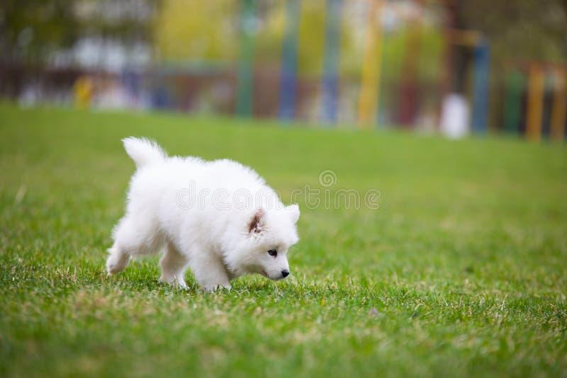 Biały Samoyed szczeniaka pies zdjęcia royalty free