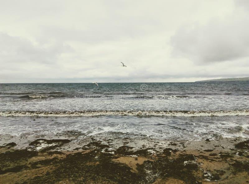 Biały seagull, gołąbka nad mechaty, piaska plażowy brzeg zdjęcie stock
