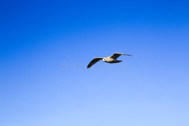 Biały seagull latanie w błękitnym pogodnym niebie nad morzem Sylwetka strzelisty frajer Ptak w locie ocean zdjęcie stock