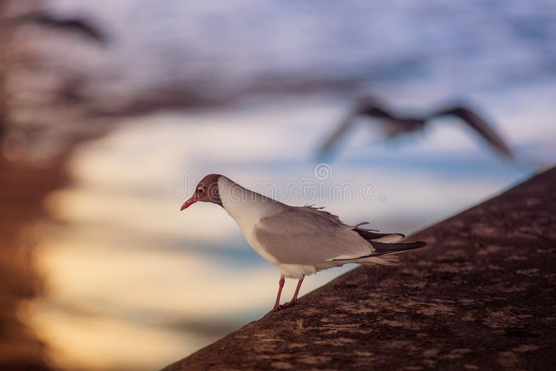Biały seagull siedzi na kamiennym molu przeciw tłu odbicie w wodzie słońce promienie przy zmierzchem fotografia stock