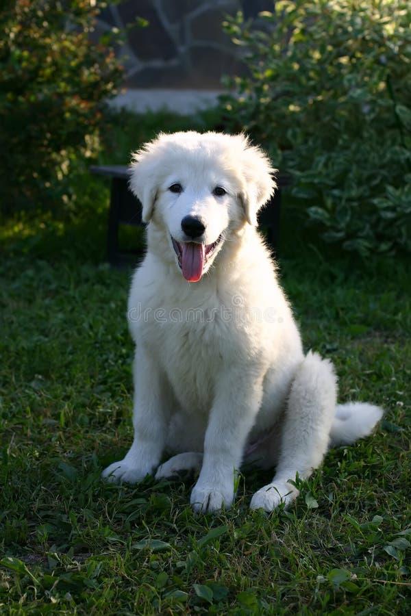 Biały Sheepdog szczeniaka portret z jęzorem wiszącym out obrazy royalty free