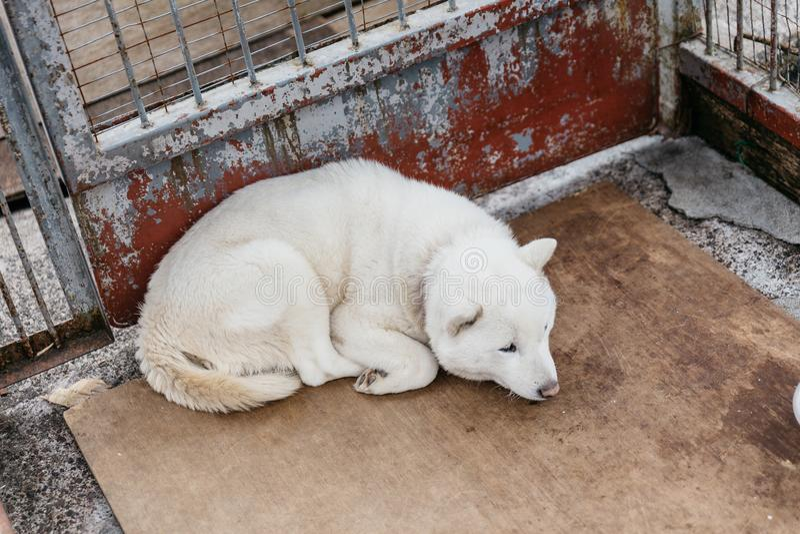 Biały Shiba psa sen w klatce blisko Shiraoi wioski Ainu muzeum w hokkaidu, Japonia zdjęcie stock