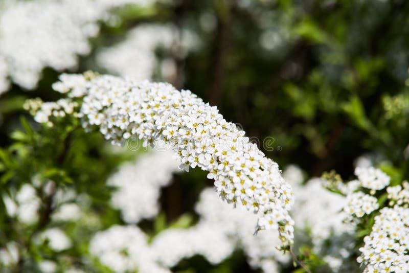 biały x Spiraea rośliny cinerea kwitnienie zdjęcie royalty free