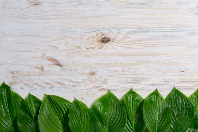 Biały stary drewniany tło z pięknymi świeżymi hosta liśćmi układającymi z rzędu Rocznika mockup Odgórny widok Mieszkanie nieatuto zdjęcia royalty free