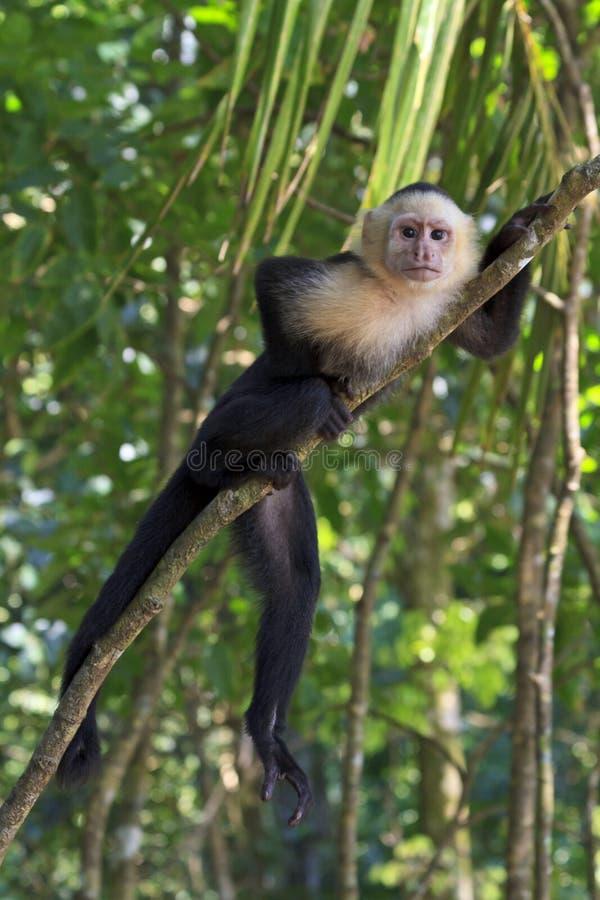 Biały - stawiać czoło Capuchin pozy na drzewie obraz royalty free