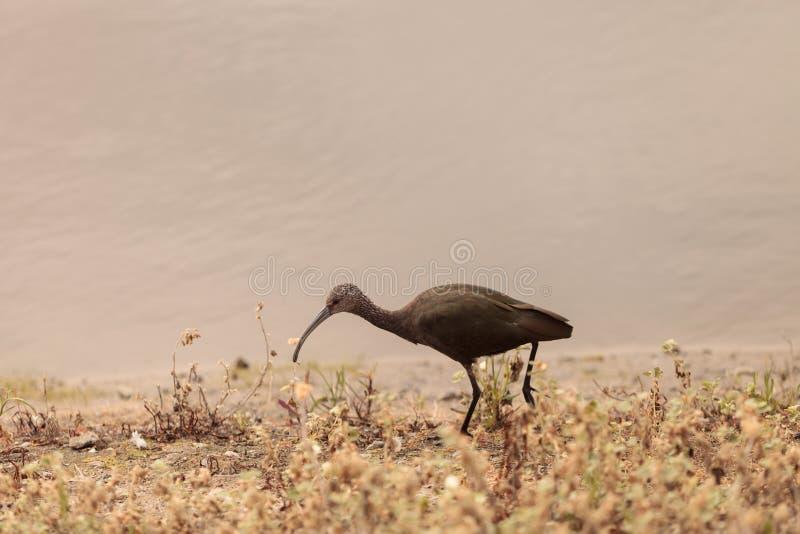 Biały stawiający czoło ibis, Plegadis chihi fotografia stock