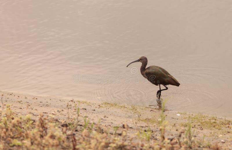 Biały stawiający czoło ibis, Plegadis chihi obraz royalty free