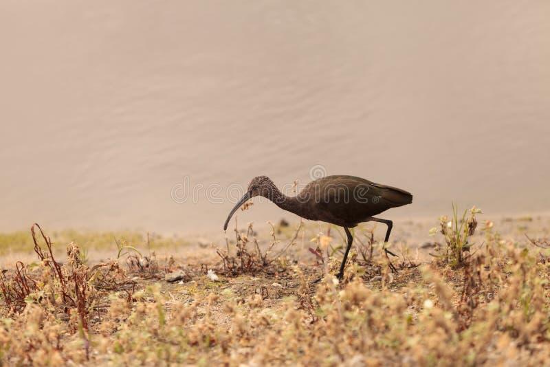 Biały stawiający czoło ibis, Plegadis chihi fotografia royalty free
