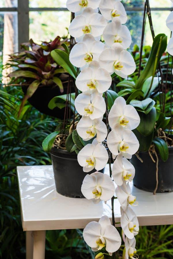 Biały storczykowy kwiat obraz royalty free