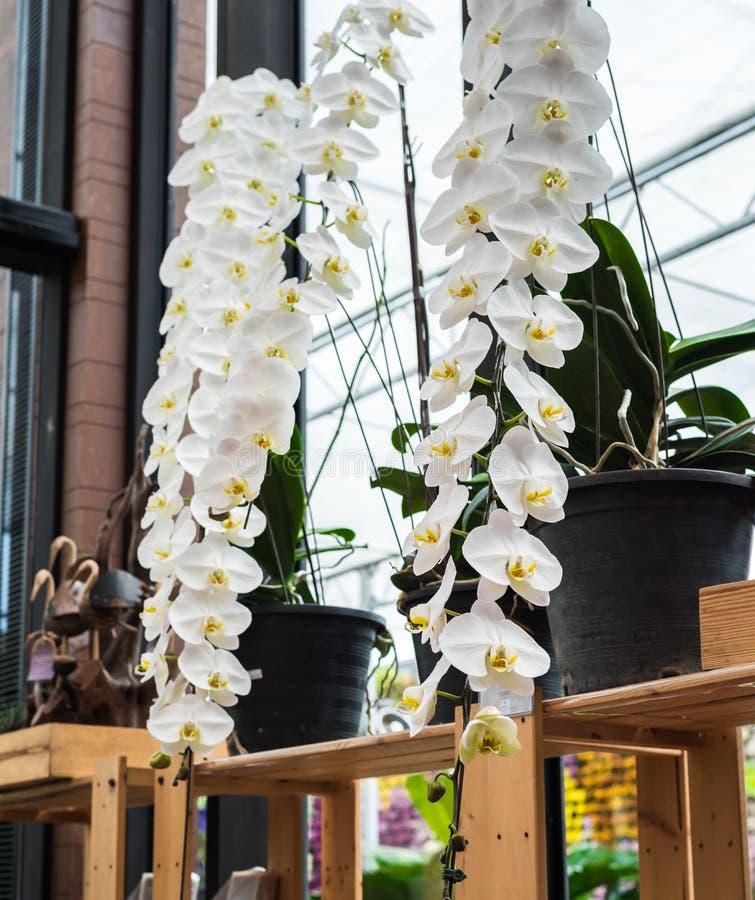 Biały storczykowy kwiat obrazy royalty free