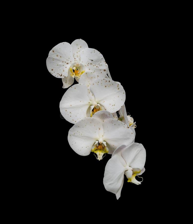 Biały storczykowy phalaenopsis kwiat obraz stock