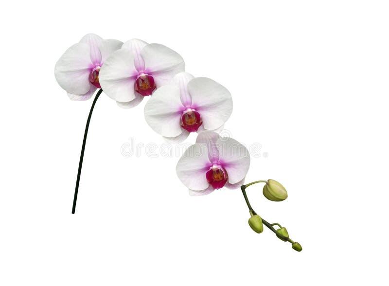 Biały storczykowy phalaenopsis kwitnie na gałąź odizolowywającej na białym tle, ścieżka zdjęcie stock