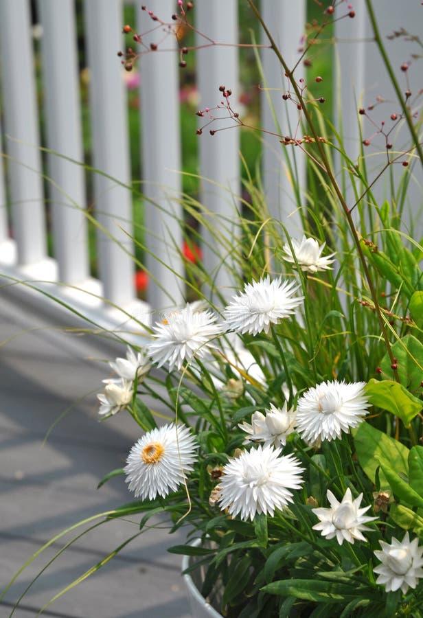 Biały Strawflowers Xerochrysum bracteatum obraz stock