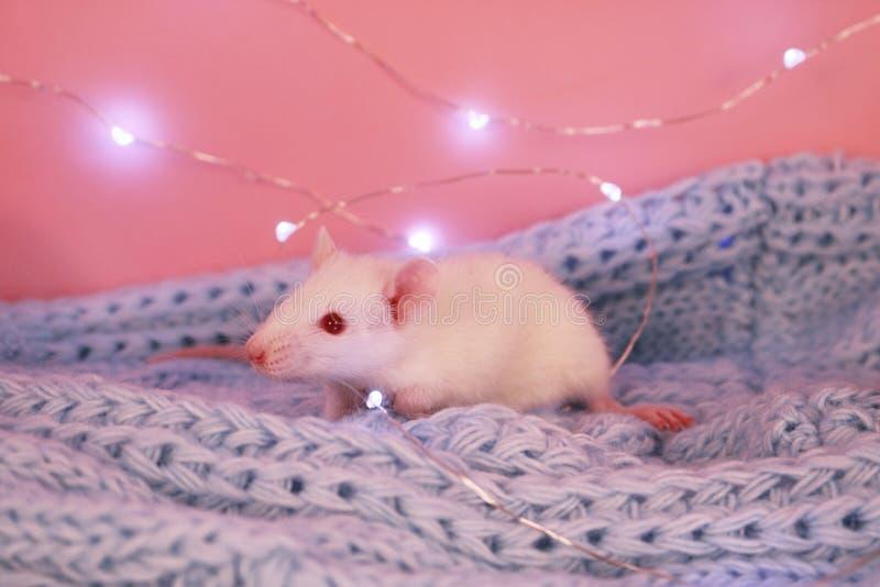 Biały szczur na błękitnym trykotowym szalika tle, symbol nowy rok 2020 zdjęcie royalty free