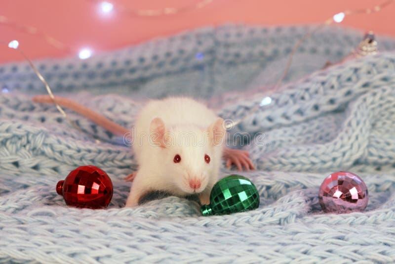 Biały szczur na błękitnym trykotowym szalika tle z boże narodzenie piłkami, symbol nowy rok 2020 zdjęcie royalty free