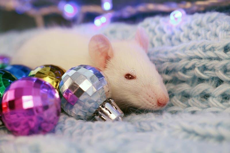 Biały szczur na błękitnym trykotowym szalika tle z boże narodzenie piłkami, symbol nowy rok 2020 zdjęcia stock
