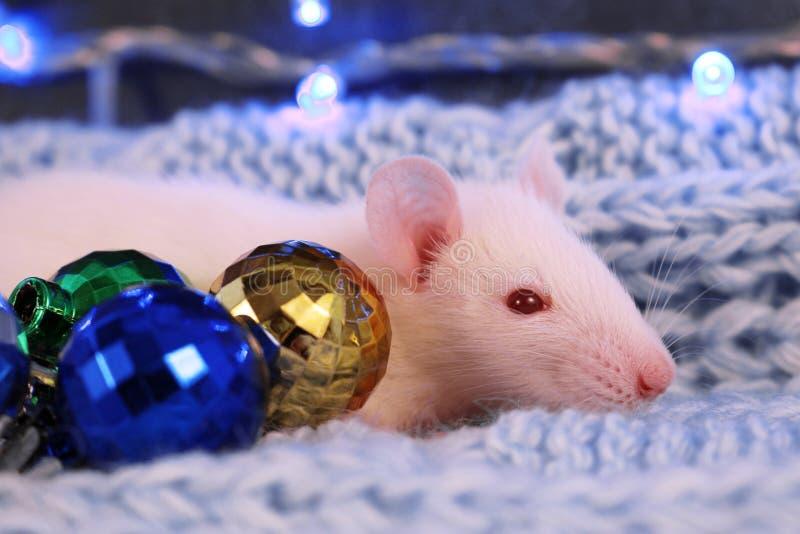 Biały szczur na błękitnym trykotowym szalika tle z boże narodzenie piłkami, symbol nowy rok 2020 fotografia royalty free