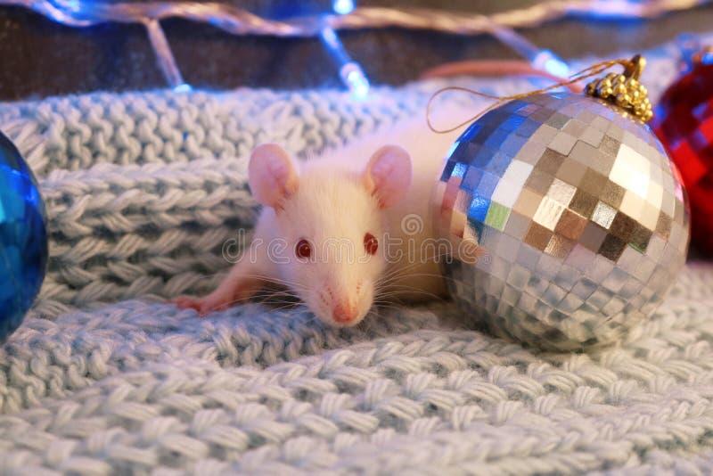 Biały szczur na błękitnym trykotowym szaliku z boże narodzenie piłką, symbol nowy rok 2020 fotografia stock