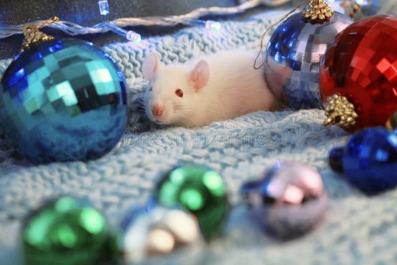 Biały szczur na błękitnym trykotowym szaliku z boże narodzenie piłką, symbol nowy rok 2020 zdjęcia stock