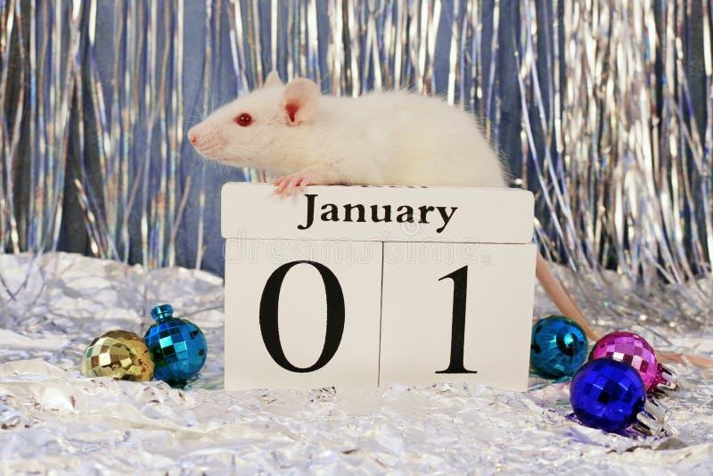 Biały szczura obsiadanie na drewnianym oprócz daktylowego kalendarza z boże narodzenie dekoracjami, symbol nowy rok 2020 fotografia royalty free