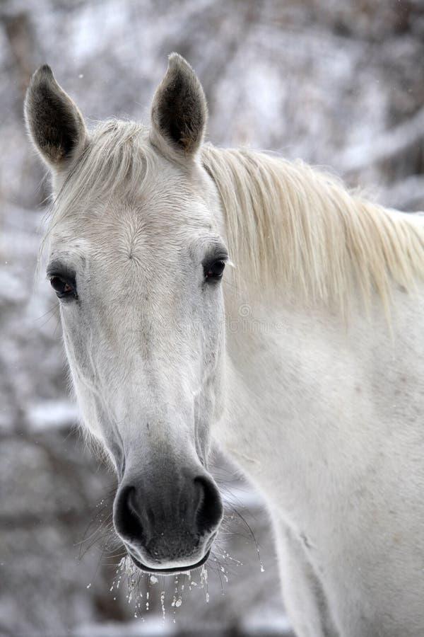 Biały szkicu koń w zimie outdoors fotografia stock
