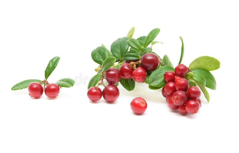 biały tło cranberries obrazy stock