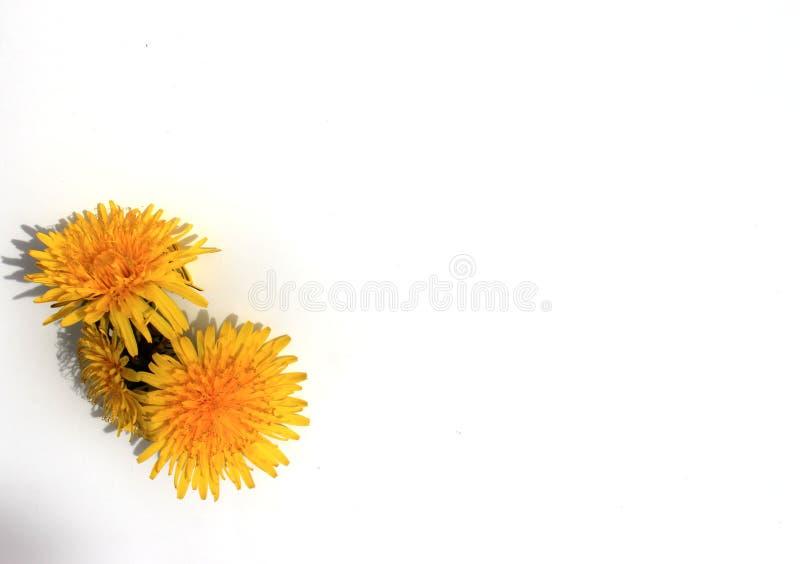 Biały tło wkładać słowa lub karty, trzy kolorów żółtych dandelion zdjęcia royalty free