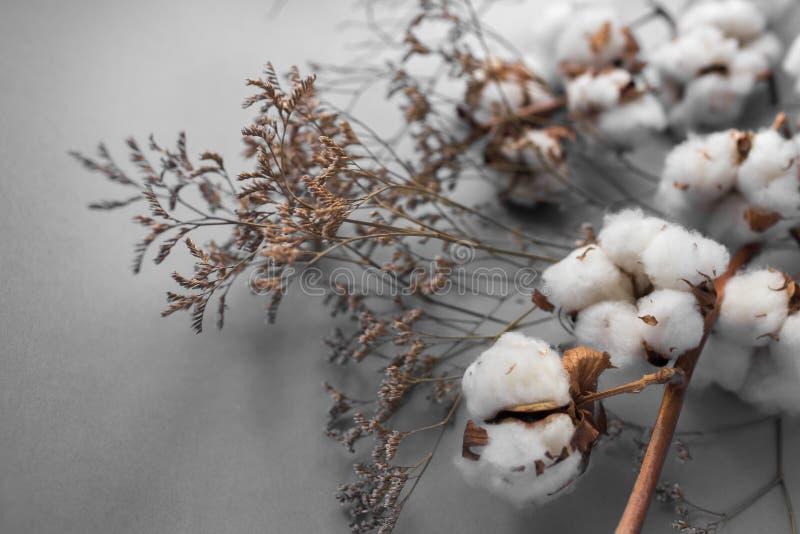 Biały tło z gałąź bawełniana roślina zdjęcie royalty free