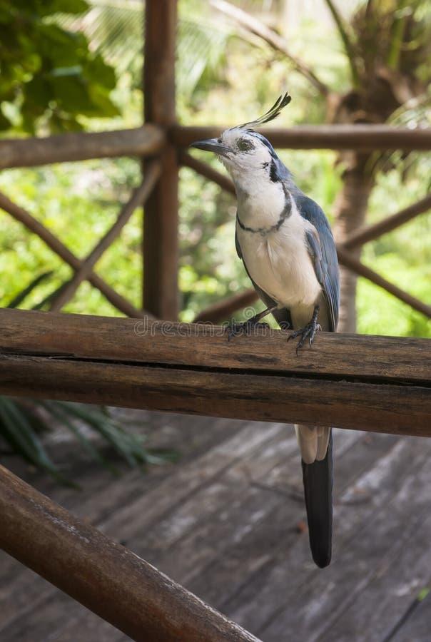Biały Throated sroki Jay obsiadanie na poręczu zdjęcie stock