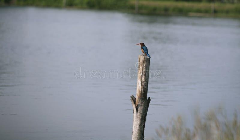Biały throated zimorodek odpoczywa na fiszorku blisko jeziorem zdjęcia royalty free