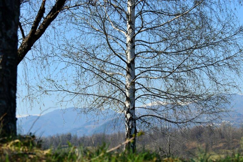 Biały topolowy drzewo przeciw błękitnemu doskonalić niebu w wiosna słonecznym dniu zdjęcia royalty free