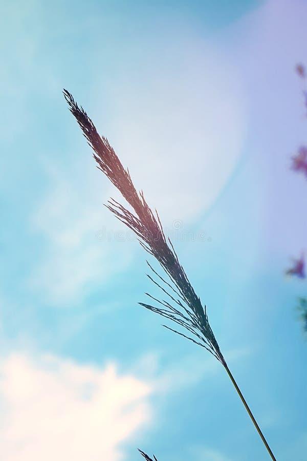Biały trawa kwiat na niebieskiego nieba tle zdjęcia royalty free