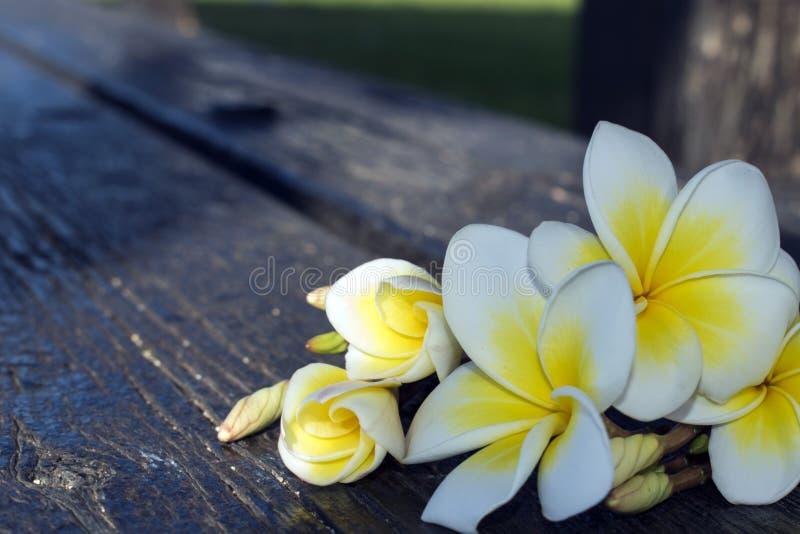 Biały tropikalny kwiatu plumeria na ciemnym tle obraz royalty free