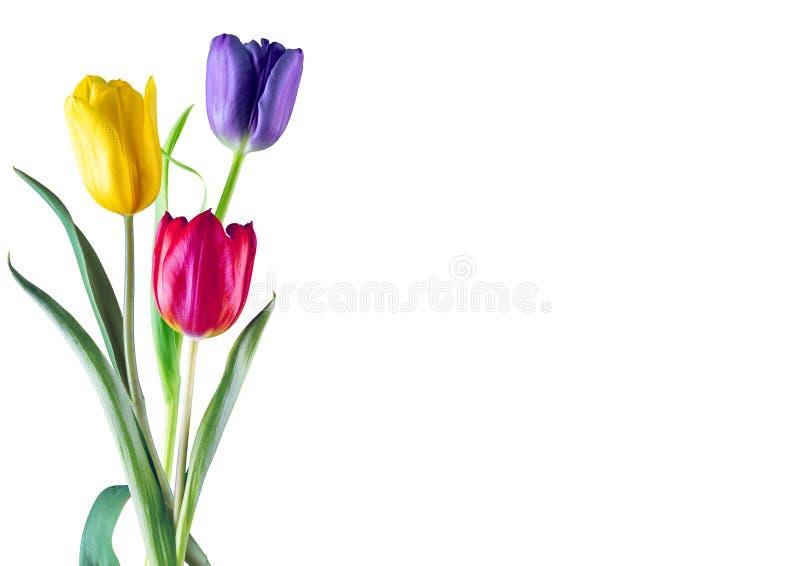 biały trzy tulipanu obraz royalty free