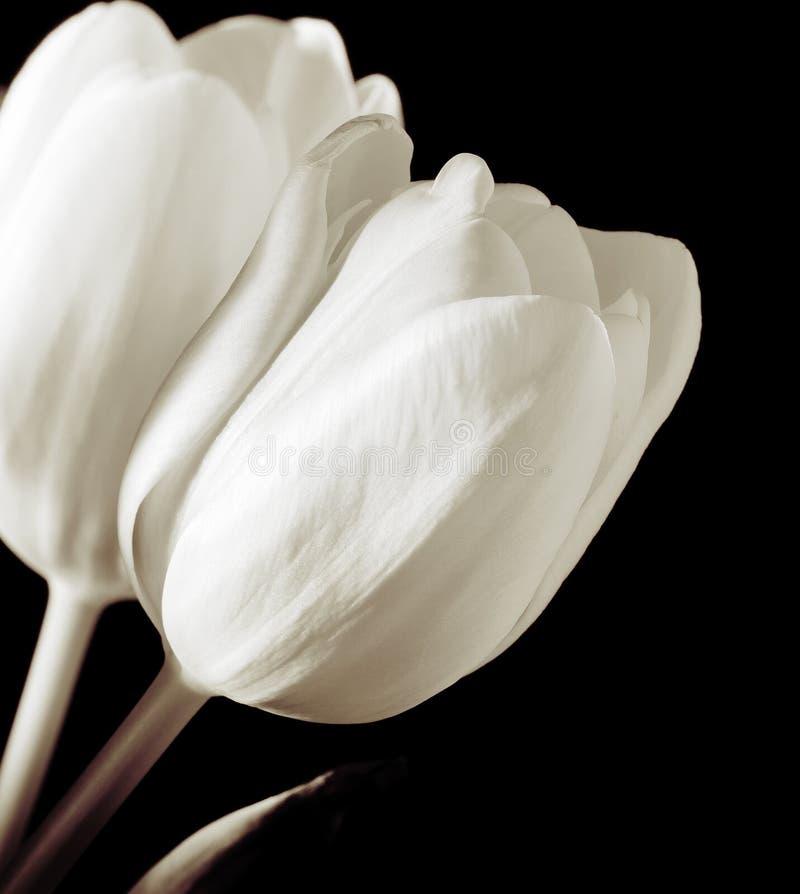 Biały tulipany obraz royalty free
