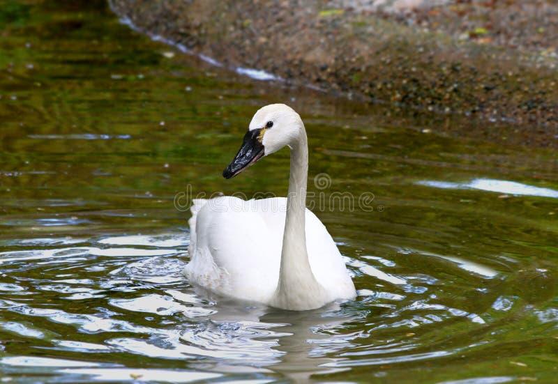 Biały Tundrowy łabędź fotografia royalty free