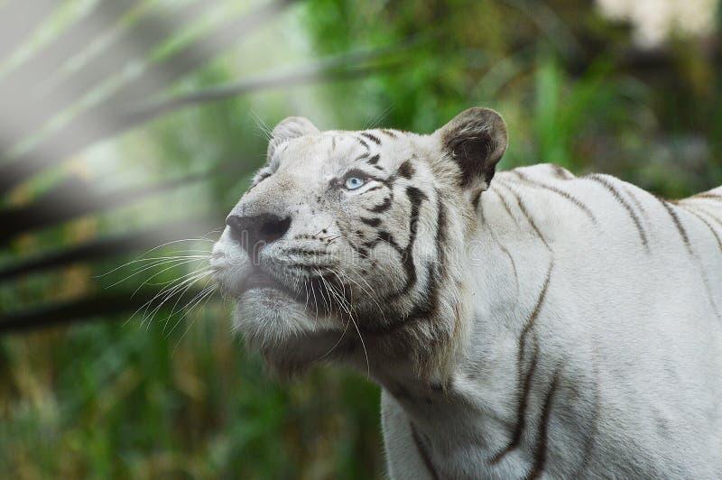Biały tygrys, światło fotografia royalty free