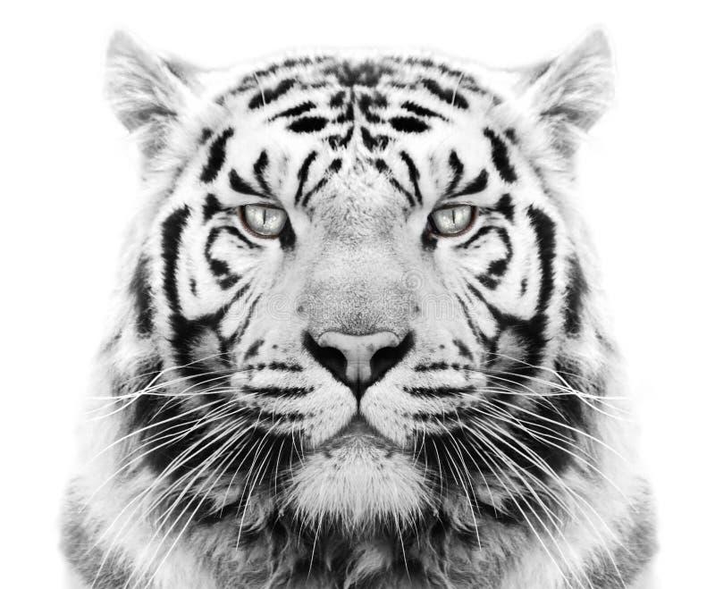 Biały tygrys zdjęcia royalty free