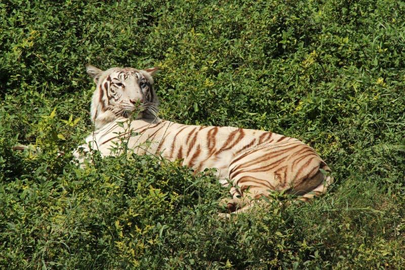 Biały tygrys obraz stock