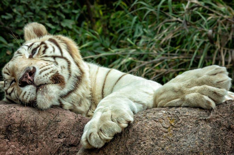 Biały tygrys lub Bengalia tygrys dosypianie na skale obrazy stock