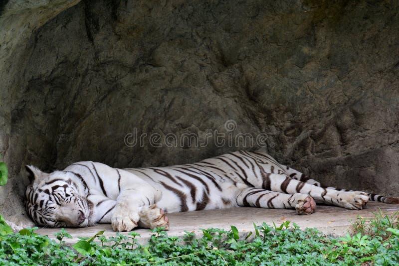 Biały tygrys lub Biały tygrysi dosypianie zdjęcie stock