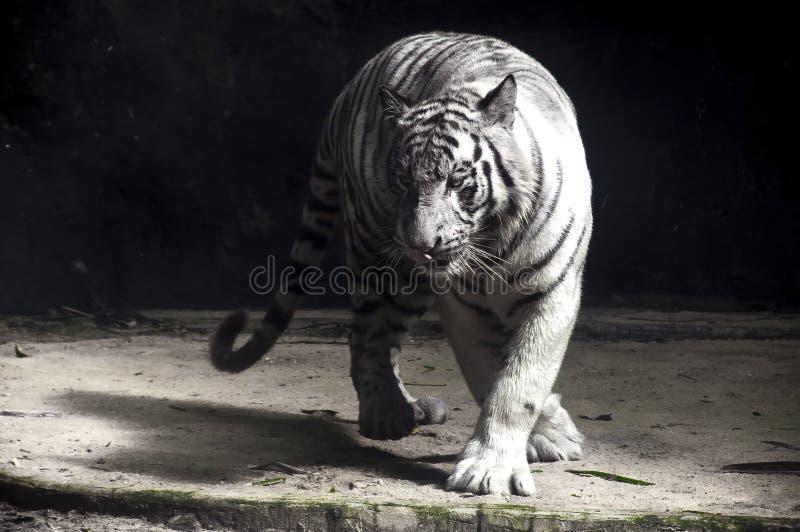 Biały tygrys & x28; Panthera Tygrys Tigris& x29; Przemierzać zdjęcie royalty free