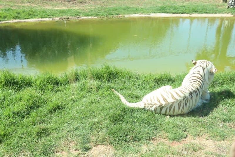 Biały tygrys Relaksujący na trawie zdjęcia stock