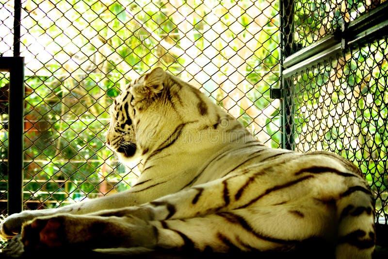 Biały tygrys w klatce zdjęcia royalty free