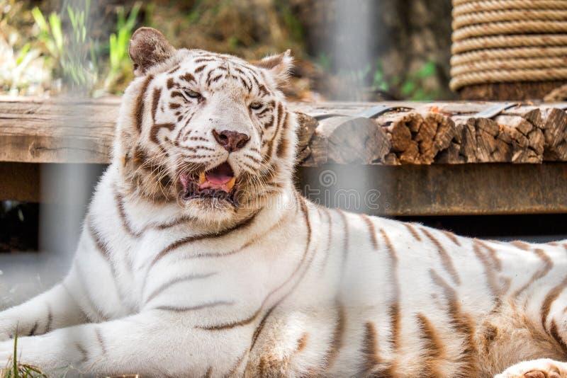 Biały Tygrysi dosypianie w klatce zdjęcia stock