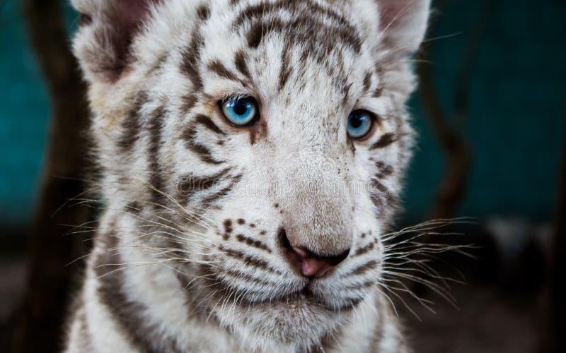 Biały Tygrysi dziecko W Lithuania fotografia royalty free