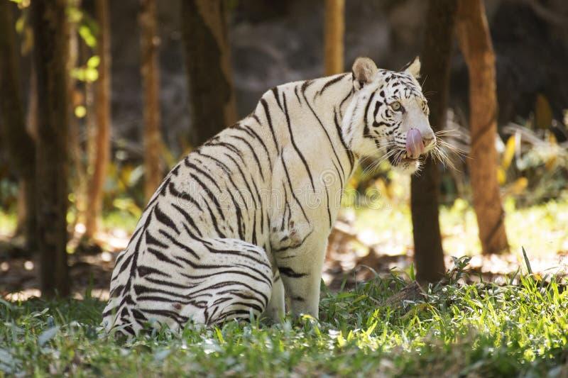Biały tygrysi oblizanie nos z jęzorem fotografia royalty free