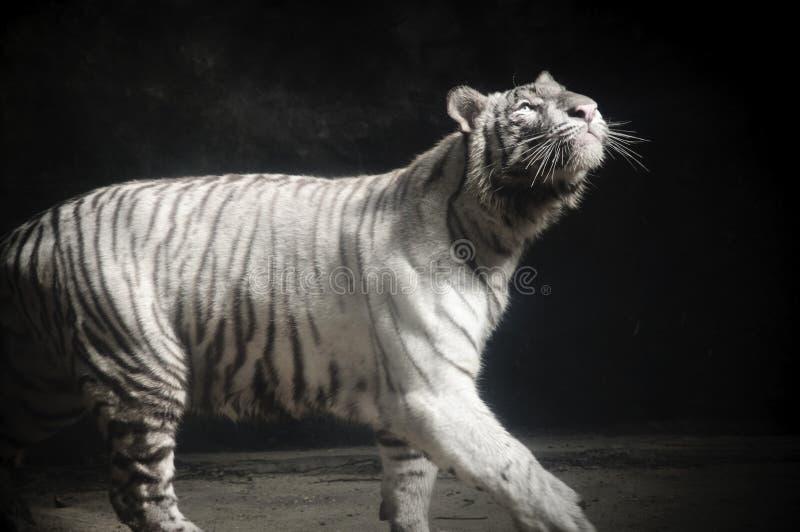 Biały Tygrysi Panthera Tygrys Tygrys Gapi się Up obrazy stock