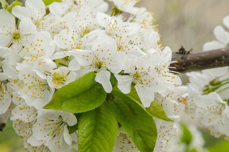Biały wiśni gałąź okwitnięcie na wiosna popióle obrazy stock