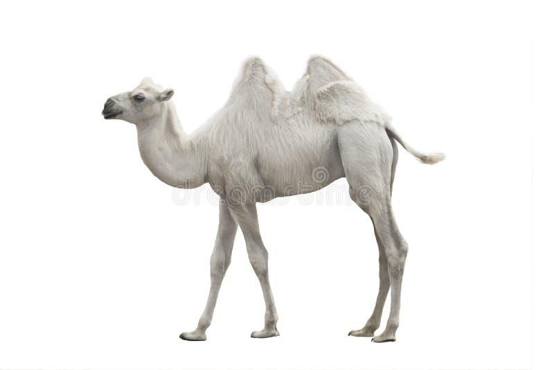 Biały wielbłąd odizolowywający obraz royalty free